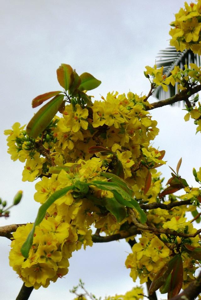 """Trầm trồ trước """"lão mai"""" gần 100 tuổi… cuồn cuộn nở hoa từ thân - 8"""
