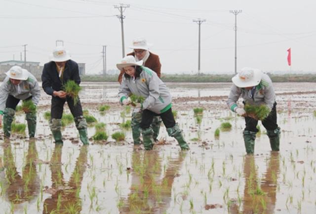 Nữ Bí thư tỉnh Ninh Bình tham gia cấy lúa cùng bà con nông dân (ảnh: Thái Học)