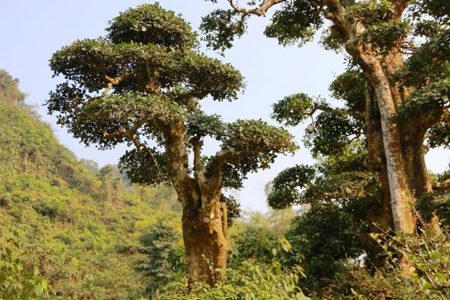 Cây duối có hoa từ tháng 1 đến tháng 3 hàng năm, quả vàng to bằng hạt ngô. Thông thường, các cây duối thường được trồng ở các đình, đền chùa để lấy bóng mát, trồng trong vườn làm cảnh. Cây duối này lại mọc giữa núi rừng Thung Nham và tồn tại hơn 1.000 năm qua nên rất đặc biệt.