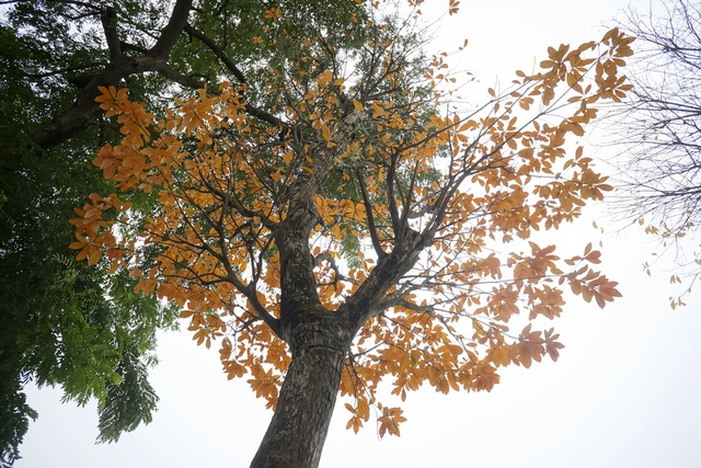 Cảnh sắc tuyệt đẹp mùa lộc vừng thay lá tại Hà Nội - 9
