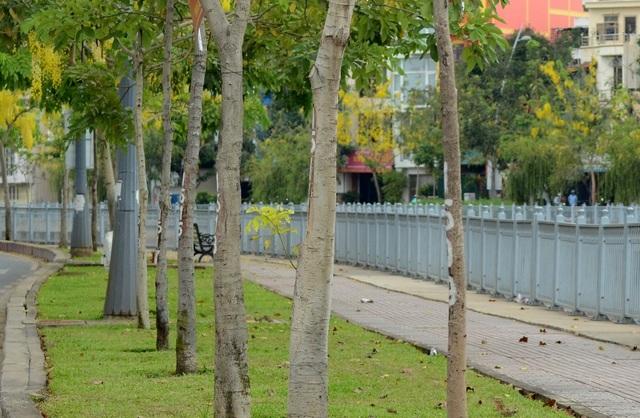 Muồng Hoàng Yến thuộc cây gỗ, cao tới 10–20 mét, lớn nhanh. Gỗ có giác lõi phân biệt, cứng, nặng có thể dùng trong xây dựng nhà cửa, đóng đồ gia dụng, nông cụ. Lõi giàu tanin.