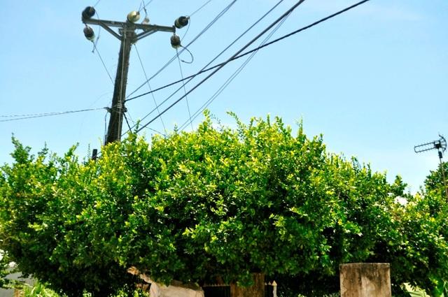 Chiêm ngưỡng 4 cây duối hơn 100 năm tuổi tuyệt đẹp ở Quảng Nam - 7