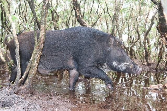 Việc đưa giống lợn rừng về nuôi ở đây không những là cách chăn nuôi mới để phát triển kinh tế mà theo ông Lương thì mục đích của việc chăn nuôi này còn để bảo vệ nguồn Gen của động vật hoang dã ở Hà Tĩnh đang ngày bị cạn kiệt.