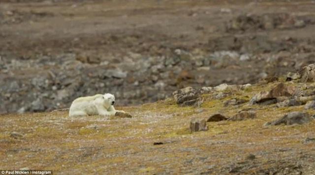Số lượng gấu trắng Bắc Cực sẽ sụt giảm 1/3 trong vòng 35 năm tới. Khi lượng băng ở vùng cực tiếp tục tan chảy, lượng gấu trắng trên thế giới sẽ sụt giảm từ khoảng 26.000 con xuống còn 17.000 con.