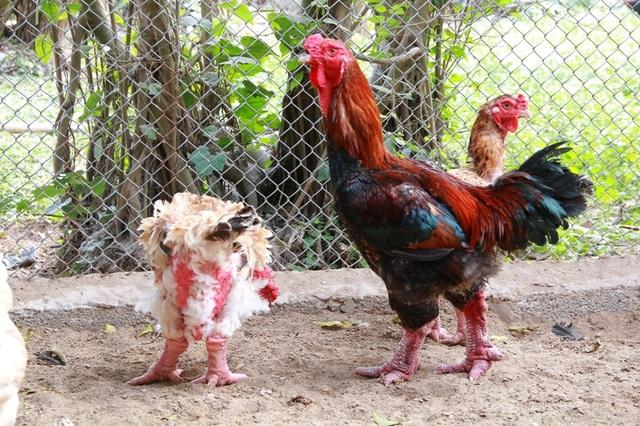 Anh Miền cho biết, do Tết năm nay là năm con gà nên nhu cầu mua gà về làm quà biếu, ăn thịt của người dân tăng cao. Nắm bắt được xu hướng, từ đầu năm anh đã tập chung nhân giống đàn gà Đông Tảo, chăm sóc cao độ tuy nhiên đến nay vẫn không đủ hàng bán ra thị trường.