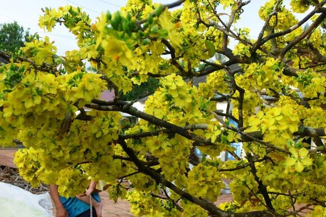 """Trầm trồ trước """"lão mai"""" gần 100 tuổi… cuồn cuộn nở hoa từ thân - 6"""