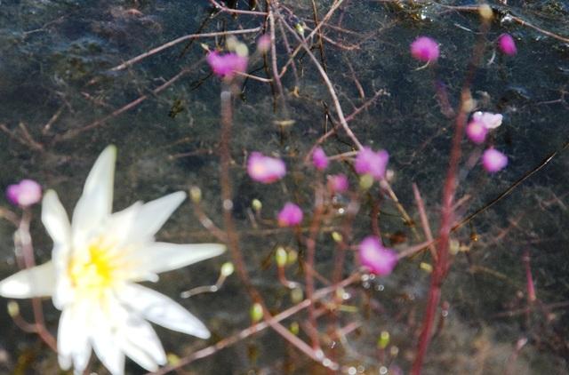 """Hoa nhĩ cán """"nhuộm"""" tím Vườn Quốc gia Tràm Chim - 5"""