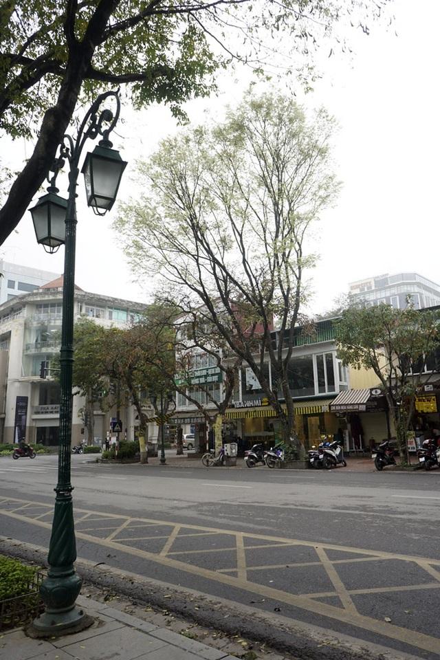 Một cây sưa đơn lẻ trên phố Phan Chu Trinh.