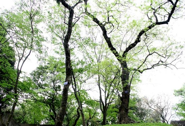 Cây sưa đỏ - còn gọi là trắc thối, huỳnh đàn, huê mộc vàng, thuộc nhóm 1A nghiêm cấm khai thác, sử dụng vì mục đích thương mại. Đây là loại gỗ cực kỳ quý hiếm, hiện nay cây mọc hoang trên rừng rất ít, hầu như đã bị khai thác hết. Hiện chỉ còn số ít được bảo tồn và lưu giữ trong các công viên, nhà chùa…