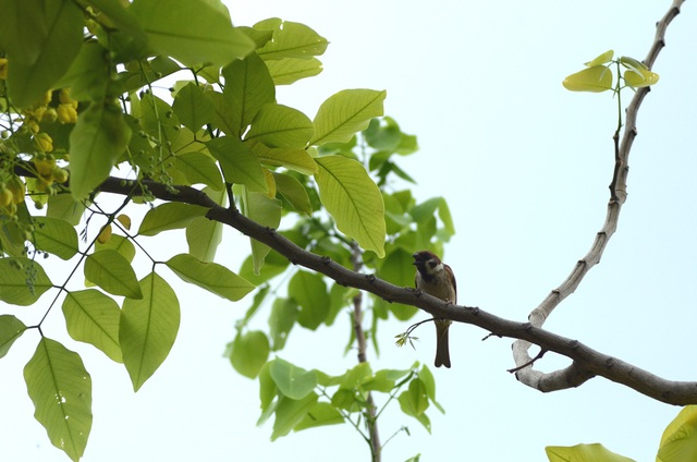Cành cây Muồng Hoàng Yến nhẵn, lá kép lông chim một lần chẵn, mọc cách, dài 15–60 cm với 3-8 cặp lá chét sớm rụng.