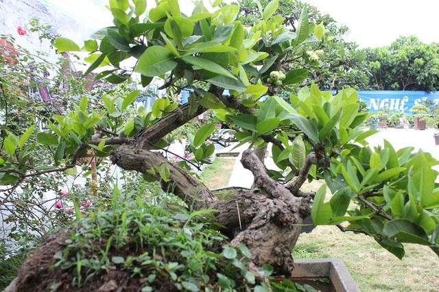 Chủ nhân của siêu cây này cho biết, cây được định giá khoảng 100 triệu đồng.