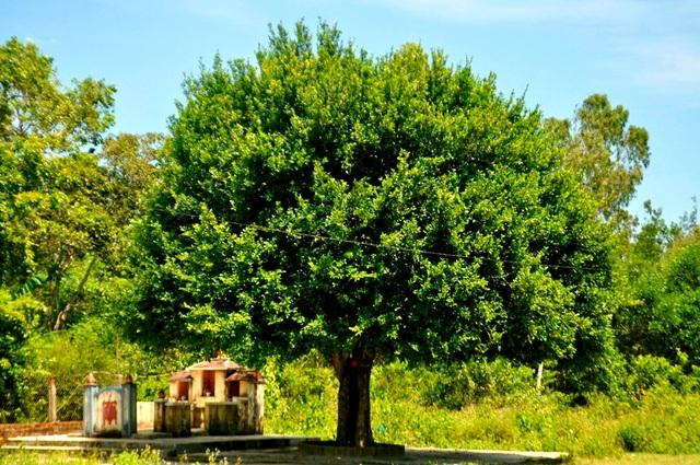 Gần nhà ông cũng có nhiều cây duối rất lâu đời