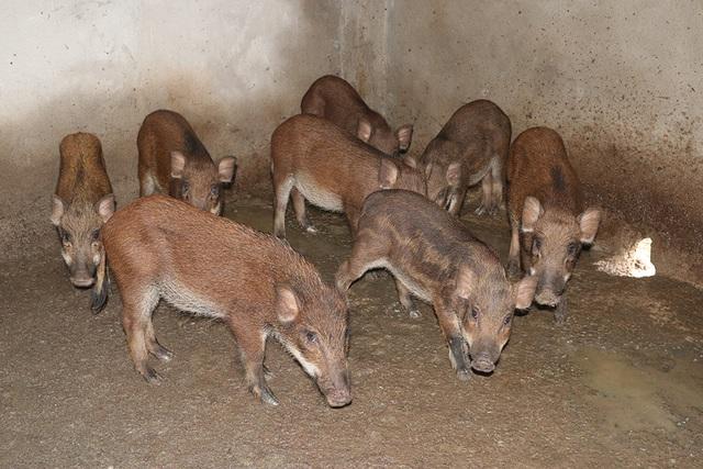 Những con lợn con khi được lợn mẹ đưa ra khỏi ổ thì được ông Lương đưa vào nhốt tạm trong chuồng để chăm sóc. Sau khoảng 2 tháng lại tiếp tục thả chúng theo đàn.