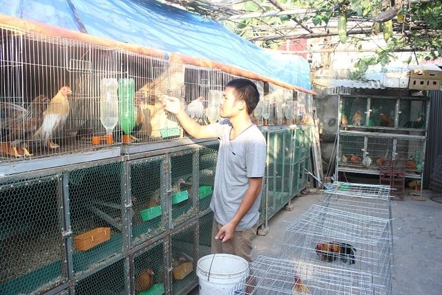 Việc chăm sóc gà Tân Châu khá kỳ công và phải đảm bảo chế độ ăn của gà luôn đầy đủ chất dinh dưỡng. (Ảnh: Hà Trang)