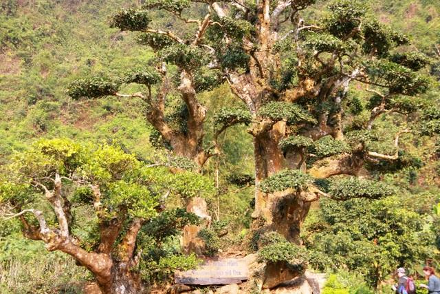 """Người dân địa phương rỉ tai nhau, khi đến thăm cây duối ngàn năm giống như đến viếng nhà vua và sẽ được """"thập toàn thập mỹ"""": may mắn tốt lành, nhiều lộc, nhiều ruộng đất, sống an nhàn trăm tuổi."""