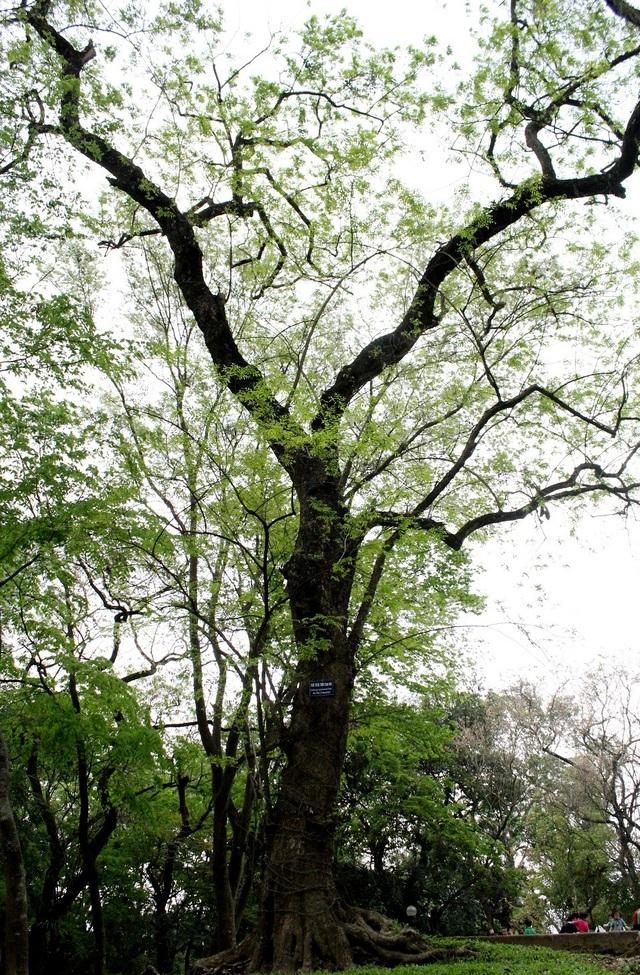 Một cây sưa đỏ có đường kính khá lớn tại công viên Bách Thảo