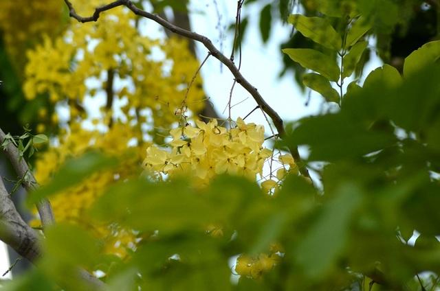 Hoa có cụm lớn, nhiều hoa nhưng thưa, dạng cành hoa rủ xuống dài 20–40 cm; cuống chung nhẵn, dài 15–35 cm hoặc có thể hơn. Cánh hình bầu dục mặt ngoài phủ lông mượt.