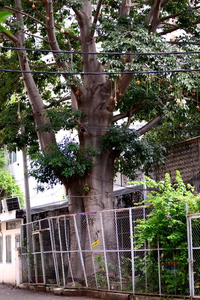 Vào mùa khô, lá của cây bao báp thường rụng nhiều nên cây chỉ còn lại cành.