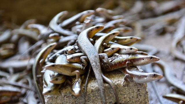 Chuồng nuôi rắn cần phải thiết kế ở vị trí đón nắng và bố trí các vỏ dừa khô, gỗ mục, gạch để rắn trú ngụ. Loại này có ưu điểm là khá khỏe mạnh, không có mùi hôi, thích ứng tốt với khí hậu nắng, nóng. Trong đó, thức ăn chủ yếu của rắn mối là dế và sâu. Hiện mỗi tháng, cơ sở anh Kiên xuất ra thị trường khoảng 1 tấn rắn mối thương phẩm.