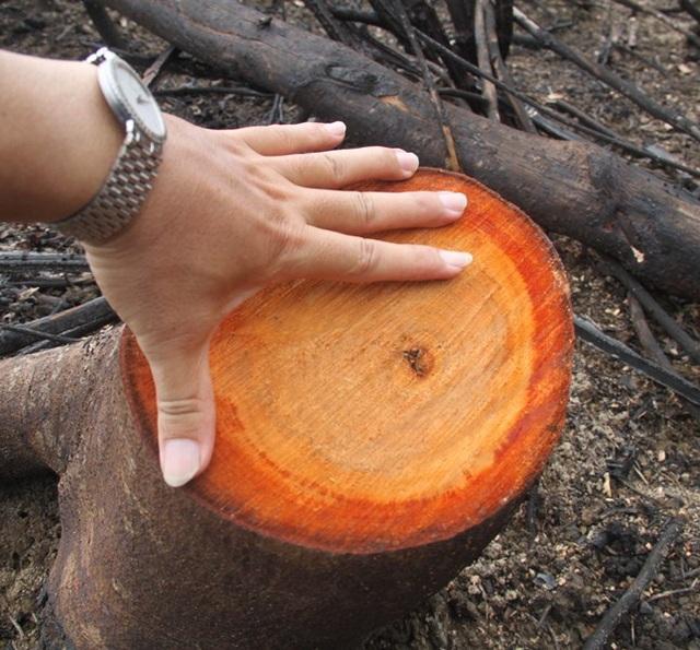 """Bí thư Tỉnh ủy từng nói rằng: """"Việc chặt cây rất to đi trồng cây rất nhỏ là điều vô lý""""."""