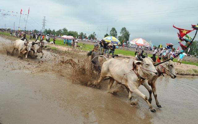 Riêng lễ hội đua bò Bảy Núi An Giang hàng năm thu hút hàng ngàn lượt du khách đến xem