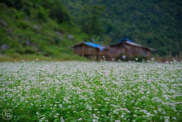 Những cánh đồng hoa tam giác mạch mang màu trắng tinh khôi ở Lạng Sơn. Ảnh: Thuận Bùi