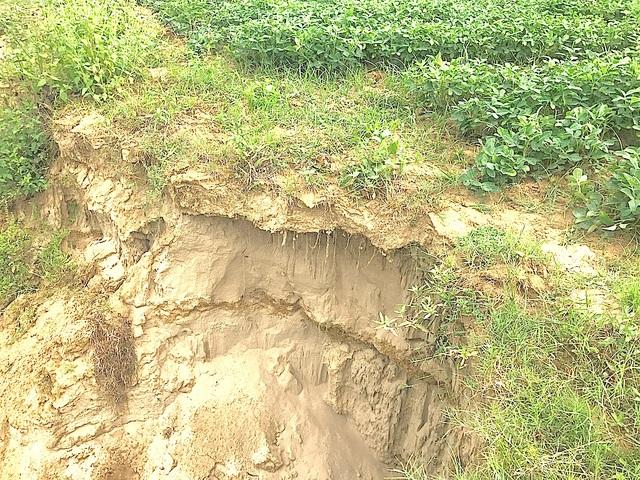 Nhiều mảnh đất trồng lạc của dân bị sụt lún.
