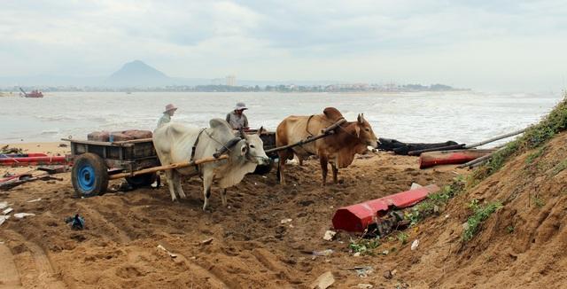Người dân dùng xe bò để vận chuyển đất đá cứu bờ kè