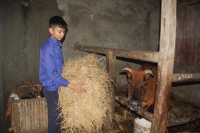 Ngoài thời gian học tập, Hoàng còn chăm sóc 1 con bò do anh em họ hàng cho.