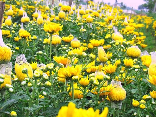 Hoa cúc vàng khoe sắc.