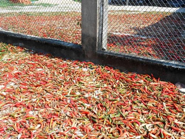 Người dân thu hoạch cầm chừng, hái ớt chín phơi khô đợi bán mùa mưa nhưng thời tiết thất thường ảnh hưởng không nhỏ đến quá trình phơi