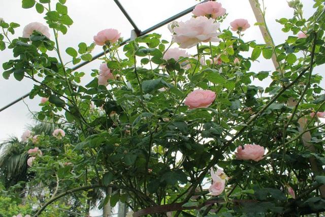"""Nhiều loại hoa hồng ngoại trên thế giới được """"nhiệt đới hóa"""", chăm sóc tại vườn thích nghi khá tốt với khí hậu Việt Nam. Trong ảnh là loại hoa hồng An Sương có xuất xứ từ Anh. Đây là loại hoa hồng leo, hoa mọc thành chùm có màu hồng sáng, thơm dịu tựa như những giọt sương nhẹ nhàng. Cây có thể leo cao 4 – 6m và xòe tán 1 – 1,5m."""