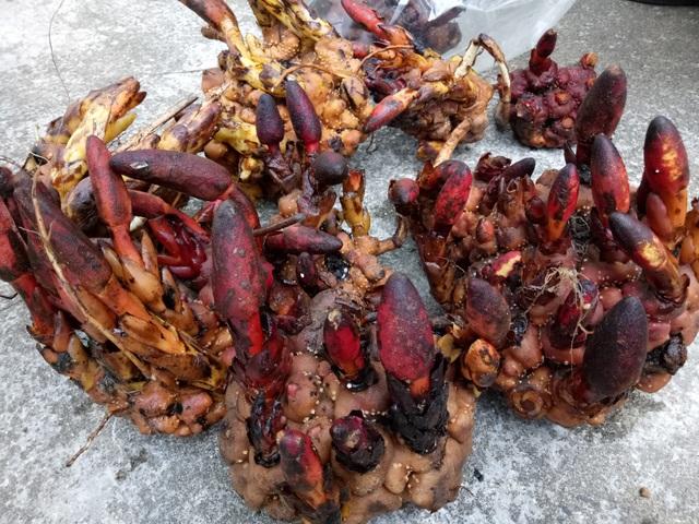 Nấm ngọc cẩu được người dân hái từ trên núi cao