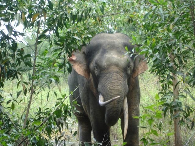 Voi rừng ngà lệch thường xuyên xuất hiện kiếm ăn tại khu vực dân cư sống gần rừng Mã Đà, huyện Vĩnh Cửu, Đồng Nai.