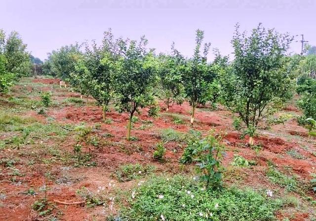 Hàng trăm cây cam trong vườn của gia đình bà Tuyết bị kẻ xấu cạo sạch vỏ dưới gốc cây.