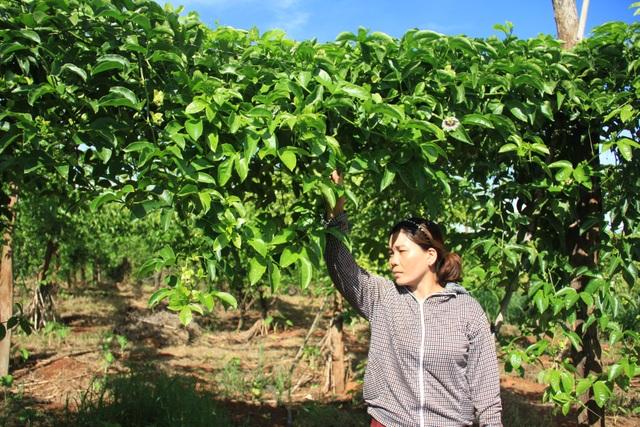 Chanh dây trồng 6 tháng nhưng không đậu trái