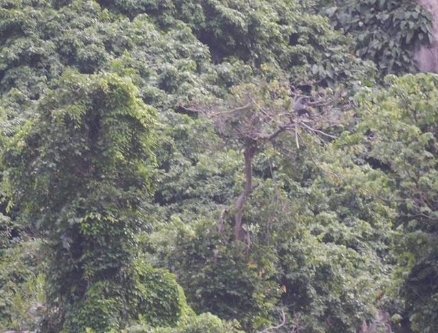 1 cá thể voọc chà vá chân đen đang sinh sống trên núi Chứa Chan.