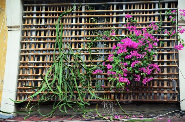 Trong ký ức của nhiều người Hà Nội, giàn hoa giấy là một hình ảnh quen thuộc gắn liền với những ngôi nhà cổ, cũ kỹ, những khu tập thể. Trong ảnh là cây hoa giấy trước cửa khu tập thể C4 Giảng Võ.