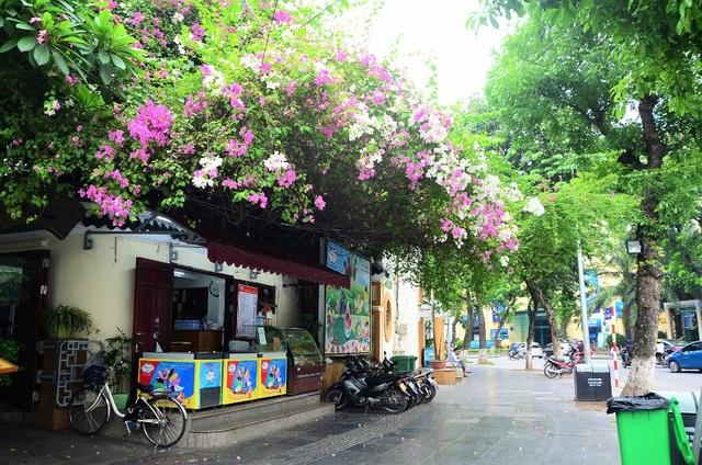 Nếu như hoa phượng, bằng lăng... chỉ nở rộ vào một mùa nhất định và gây choáng ngợp bởi sắc đỏ, sắc tím tràn ngập thành phố thì hoa giấy lại không quá nổi bật, lặng lẽ quanh năm tô điểm phố phường.