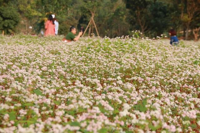 Trên diện tích hơn 1.000 m2, vườn hoa tam giác mạch có 1 không 2 ở Ninh Bình đã thu hút nhiều bạn trẻ đến xem và chụp ảnh.
