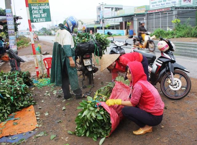 Giống tiêu được bán nhiều ngày trên phố vậy sẽ ảnh hưởng đến sự phát triển của cây