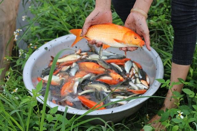 Một kg cá chép đỏ thường có khoảng 20 – 30 con. Trong đó, những con cá có trọng lượng lớn giá sẽ cao hơn gấp nhiều lần. Đắt nhất là cá 5- 6 lạng, màu đỏ đẹp, vây cờ. Loại này khá hiếm nên giá bán khoảng 50 – 60 nghìn đồng/con.
