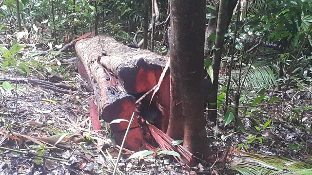 Nhiều gốc cây lớn bị đốn