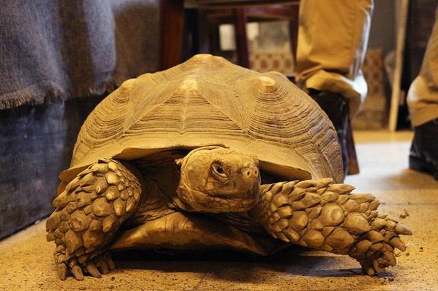Rùa Sulcata là loài rùa lớn thứ 3 trên thế giới. Cân nặng trung bình của con trưởng thành lên tới 45kg.