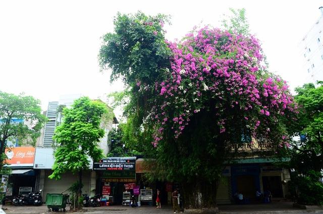 Một cây hoa giấy bung nở rực rỡ, tạo điểm nhấn ấn tượng cho con phố