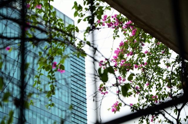 Bác Hương Lan (Giảng Võ) chia sẻ, bác rất thích loài hoa giấy bởi hoa giấy vừa dễ trồng, dễ sống mà không cần chăm sóc cầu kỳ, mỗi sáng được ngắm giàn hoa giấy trước nhà cũng cảm thấy vui, trong lòng thư thái, bình yên.