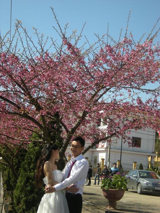 Đôi uyên ương chụp ảnh cưới dưới bóng cây anh đào Nhật Bản.