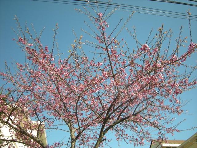 Hoa anh đào Nhật Bản khoe sắc hồng trên vùng cao Sa Pa - 2
