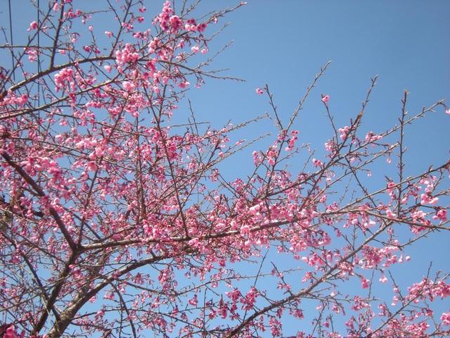 Hoa anh đào Nhật Bản khoe sắc hồng trên vùng cao Sa Pa - 4
