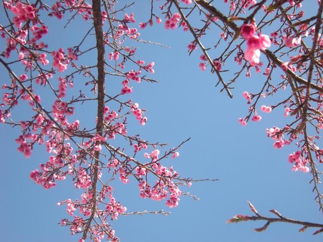 Hoa anh đào Nhật Bản khoe sắc hồng trên vùng cao Sa Pa - 5